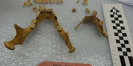 Skeletal remains from Christine Cave's study. Image: ANU