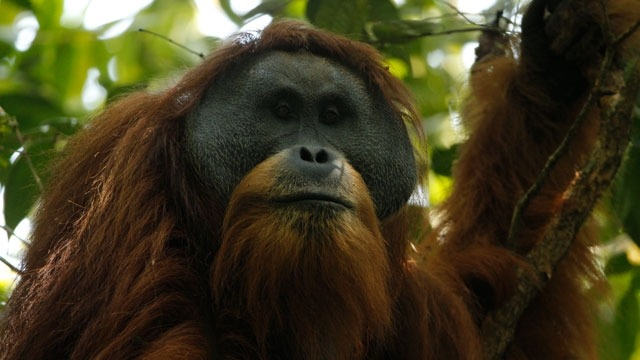 The Tapanuli orangutan is a population of just 800 apes found in a small forest in Sumatra. Image: Tim Laman